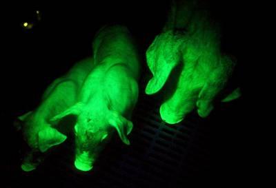 Fluorescent_pig