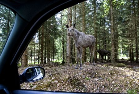 4 moosesafari_spotted